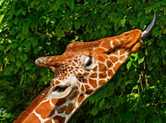 Hươu cao cổ có chiếc lưỡi rất dài lên đến 45,7 cm
